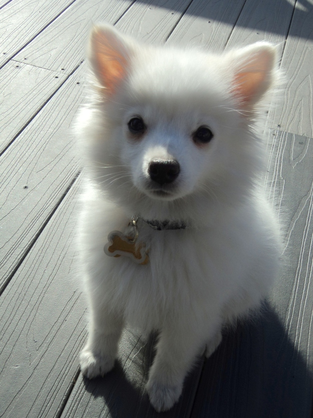 Adorable American Eskimo puppy named Sushi / Her Philly